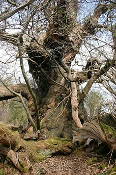Ancient sweet chestnut tree, Chirk Castle, Wales