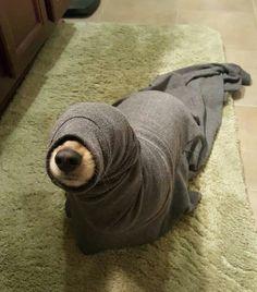 Seal doge