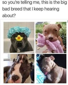 This is breed every flipping bloody hell HATERS needs to be Stop judging and HATING THIS BREED so much I am pitbull lover always I will NEVER be pitbull hater never Cute Animal Memes, Animal Jokes, Cute Funny Animals, Funny Animal Pictures, Funny Cute, Cute Puppies, Cute Dogs, Cute Little Animals, Tier Fotos