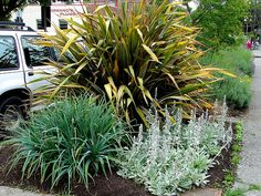 Tough plants for a tough environment- low maintenance, vertical phormium, lavender, lamb's ears and knipofia pack a lot of colour and texture into a small sidewalk boulevard strip.