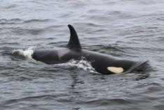 Wal, Killer Whales, Marine Life, Dolphins, Mammals, Underwater, Corgi, Cute Animals, Creatures