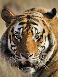 Wild Animals in Africa Tiger