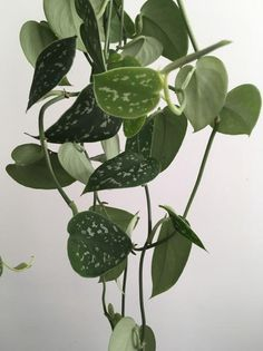 Silver Satin Pothos (Scindapsus pictus) *Heat pack NOT included. Must purchase separately. Best Indoor Hanging Plants, Sensitive Plant, Pothos Plant, Cheese Plant, Inside Plants, Money Trees, Tropical Plants, Houseplants, Garden Plants