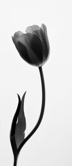 Sometimes the beautiful simplicity of a single tulip is best shown in black and white. Image by Carla Dyck
