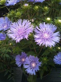 Stokesia laevis Mels Blue PPAF - the flowers aren't tiny!  They're 4 inches across blooming from June to beginning of August.  14 inches tall