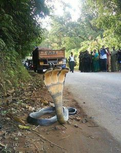 Yes, you saw correctly. That's a three-headed cobra.