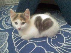 heart marking on cute kitty