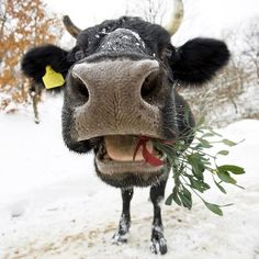 Christmas Cow@pennfoster #bemorefestive #choosetobemorefestive