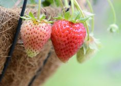 7 Fruits & Vegetables You Can Grow In Hanging Baskets