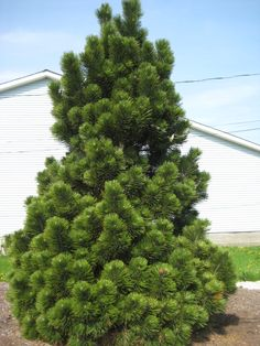 "Pinus heldreichii var. leucodermis 'Compact Gem'  Exposure full sun  Growth Rate slow, 3-6"" annually  Height 4-5'  Spread 2-3'  Zone 5-9  Water Use light"
