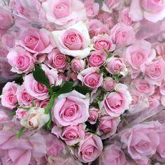 最近のバンビーナちゃん #rose #薔薇#バラ#Flower #花#はな#ばら#スプレーバラ#ピンク#Pink#出荷#Flowermarket#アールズ品種#かわいい#cute