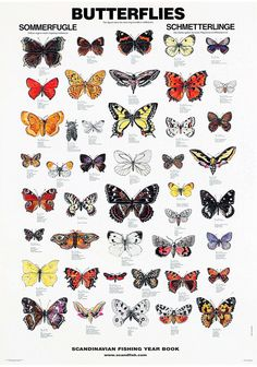 Butterflies / Sommerfugle / Schmetterlinge The Butterfly Poster is a large poster that illustrates 44 of the most common butterfly species from Europe and North. Illustration Papillon, Butterfly Illustration, Butterfly Drawing, Butterfly Crafts, Vintage Butterfly, Monarch Butterfly, Blue Butterfly, Butterfly Wings, Butterfly Artwork