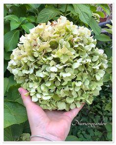 Ortensie,ortensia,hydrangea,giardino,garden,countrychic,blooming,summer