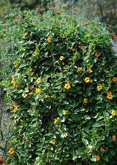 Tunbergia oskrzydlona, popularnie czarnooka Zuzanna (Thunbergia alata)