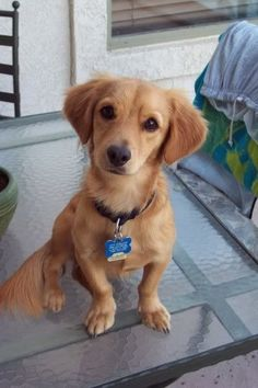 Dachshund Mixes That Are Almost Too Cute To B e Real. Golden Dox (Golden Retriever + Dachshund Mixes That Are Almost Too Cute To B e Real. Golden Dachshund, Dachshund Funny, Dachshund Quotes, Dapple Dachshund, Dachshund Puppies, Chihuahua Dogs, Miniature Dachshunds, Weenie Dogs, Doggies