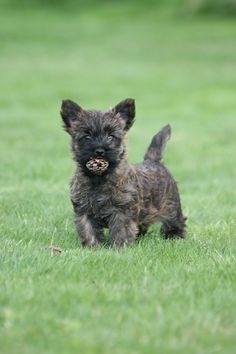 Cairn....aww like my sweet April who's in heaven~Jules