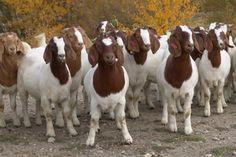 La raza Boer es la raza de cabra y sus cruzas que mayores rendimientos dá al destete puede alcanzar de 12 -14 kgs. en 35 -45 dias con una buena nutrición