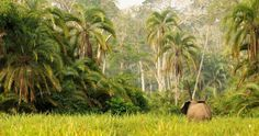 Elephant in the Congo
