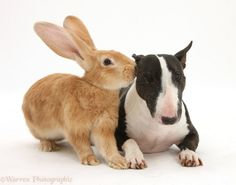 a bunny and a bull terrier!!