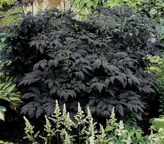 Cimicifuga simplex 'Hillside Black Beauty' (a.k.a. Bugbane) features 5-foot tall elegant white flower spikes in late summer. Plant this perennial in sun or partial shade.