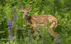 Fawn in the flowers by DGAnder on DeviantArt
