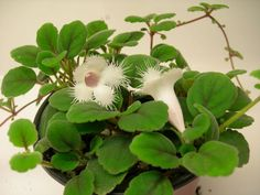 Trapinho (Alsobia dianthiflora)