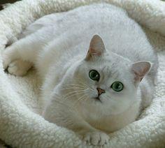 Silver shaded British Shorthair
