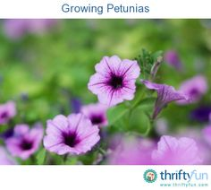 This guide is about growing petunias. These colorful trumpet-shaped flowers are easy to grow and attract both hummingbirds and moths.