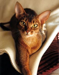 I want one!! Abyssinian Cat the cat with an impressive and decent personality.These cats are also related to Egypt as paintings tells us about their existence there.These cats are medium to large sized cats and are alert and playful.They are very much people pleasing and are social cats who like to meet new people all around their lives.They are intelligent,trainable and are ranked as the 2nd most affectionate cat breed among all cat breeds.