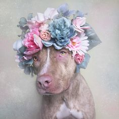 """Avec la série """"Flower Power"""", la photographe Sophie Gamand met en scène des pitbulls dans des portraits fleuris."""