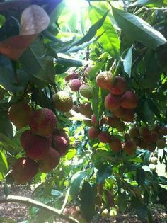 Litchi fruit