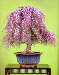 20pcs japonisantes Graines d/érable rares couleurs arc-en-Tr/ès belles plantes Japon Nouvelle Jardinerie Bonsa/ï plantes dint/érieur