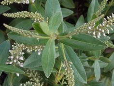 Hebe Nicola's Blush is a fantastic, small, evergreen flowering shrub with mid-green, lance-shaped leaves that become purple tinted in winter. Photograph of buds, foliage and bloom.