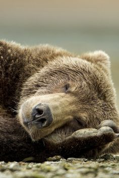 Whether you're trying to catch some shuteye on a long flight or hoping to stop tossing and turning all night, there are tiny tweaks you can make to your . Bear Photos, Bear Pictures, Cute Animal Pictures, Large Animals, Animals And Pets, Funny Animals, Cute Animals, Woodland Critters, Woodland Animals