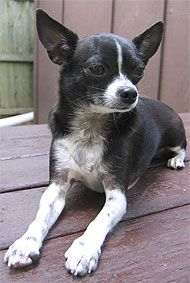 Chihuahua | chihuahua dog - toy dog breeds - online dog encyclopedia - dogs in ... Teacup Chihuahua Puppies, Chihuahuas, Boston Terrier Tattoo, Toy Dog Breeds, Jack Russell Terrier, Yorkshire Terrier, Dog Toys, The Incredibles, Puppys