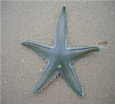 Estrela do mar (Astropecten marginatus): ameaçada de extinção. Endangered specie.
