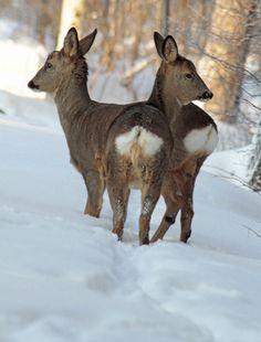 Deer in Nässjö, Småland, Sweden