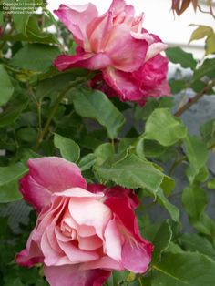 View picture of Antique, Tea, Old Garden Rose 'General Gallieni' (Rosa) at Dave's Garden.  All pictures are contributed by our community.