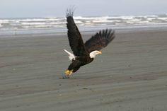 Ocean Shores   Bald_Eagle_on_Beach_at_Ocean_Shores.jpg
