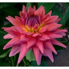Cuttings are taken from our motherstock. Order now for delivery Spring Cuttings are delivered between April and May. Roots, Seeds, Bloom, Fire, Cuttings, Dahlias, Spring, Garden, Plants