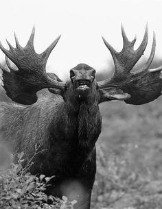 """gentlemanfisherman: """"Moose Call. """""""