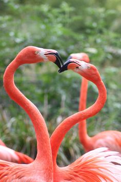 Flamingos...they form a heart. how neat