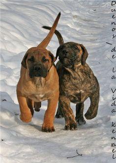 #Presa #Canario #dog