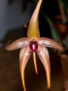 Bulbophyllum echinolabium - Flickr - Photo Sharing!