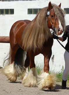 Gypsy Vanner horse - is a breed that originated as a caravan horse for the Romanichai people of the British Isles to pull vardoes in which they lived