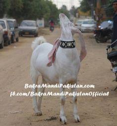 MASHAA ALLAH Abbie Anis bro ka Bakra Jisko Bhai nay Pura Saal Paala or Qurban kiya! Yeh Hai Assal Qurbani <3 say Qurbani Allah Pak Qubool Fermain Ameen! SHARE LAAZMI KERNA MEMBERS ! Join us on www.fb.com/Startfun Visit us www.BakraMandiPakistan.com