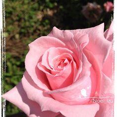 最年長(20年くらい)のバラ、ニューマドンナ✨ #flower #rose #izu #japan - @noel_izu- #webstagram