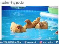 proof positive that chickens like the water when the temp. is really hot .and they can swim! AND A REASON FOR A COOP! Maybe I can't do a daytime free range chicken. Keeping Chickens, Raising Chickens, Swimming Chicken, Farm Animals, Cute Animals, Happy Animals, Funny Animals, Chicken Life, Chicken Facts