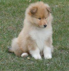 Loulou, chien Colley à poil long