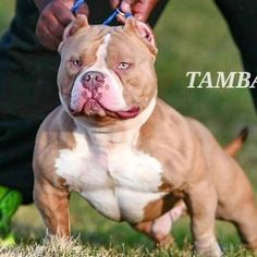 """7,982 Likes, 56 Comments - American Bully (@americanbully_) on Instagram: """"One of my favourite kennel @mvp_bullies """""""